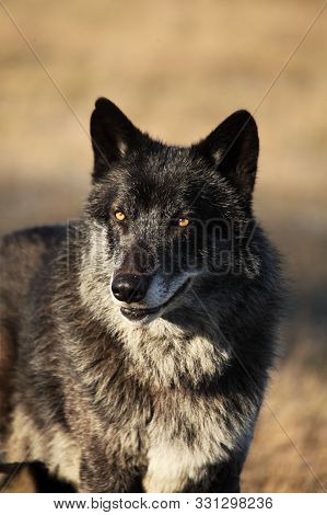 A North American Wolf (canis Lupus) Staying In The Gold Dry Grass In Front Of The Forest. Calm, Blac