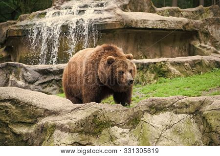 Save An Animal Today. Wild Animal Of The Bear Family In Natural Environment. Wild Bear Species. Brow