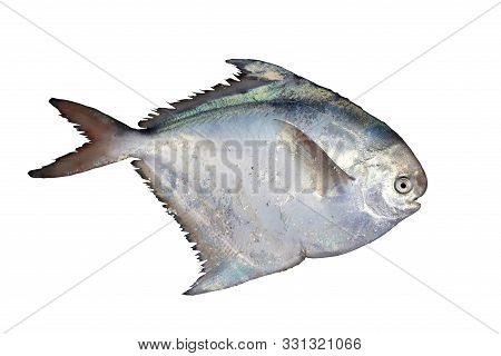 Silver Pomfret Fish, Or White Pomfret (pampus Argenteus) Isolated On White Background. Delicious But