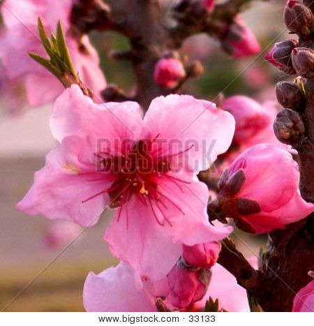 Bright Pink Peach Blossom