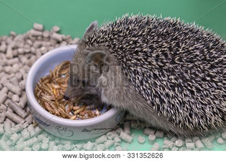 Decorative Hedgehog Eats Dry Food From Bowl. Dwarf Hedgehog At Home . Nutrition And Breeding Hedgeho