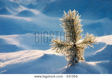 Pine In Snow
