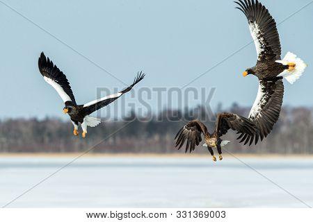 Steller's Sea Eagle And White-tailed Eagle Fighting Over Fish, Hokkaido, Japan, Majestic Sea Raptors