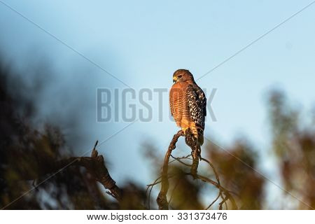 Fierce Red Shouldered Hawk Rests Atop Dried Branch Perch With Sharp Claws While Looking To The Left