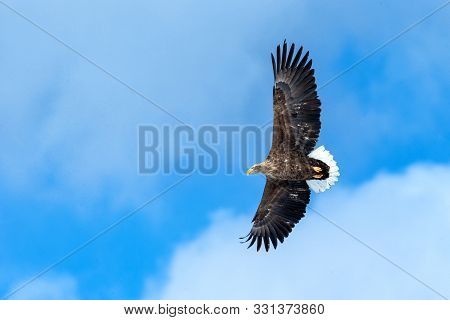 White-tailed Eagle In Flight, Eagle Flying Against Blue Sky With Clouds In Hokkaido, Japan, Silhouet