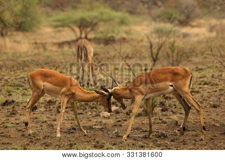 Two Impalas (aepyceros Melampus) Males Fighting In Pilanesberg Game Reserve. Impalas Fighting After