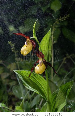 Ladys Slipper Orchid Bloom In The Pouring Rain Like Snowing. Blossom And Water Drops Like Snow. Yell