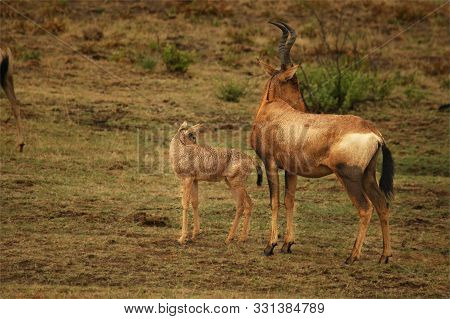 Red Hartebeest, Alcelaphus Buselaphus Caama Or Alcelaphus Caama Walking With A Baby In Dry Kalahari