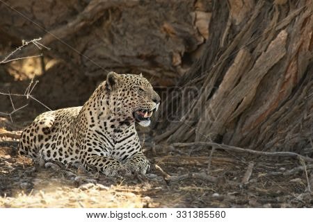 The African Leopard (panthera Pardus Pardus) After Hunt With Death Wildebeest In Dry Sand In Kalahar