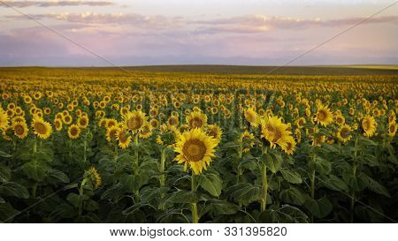 Rows Of Sunflowers In A Field At Sunrise