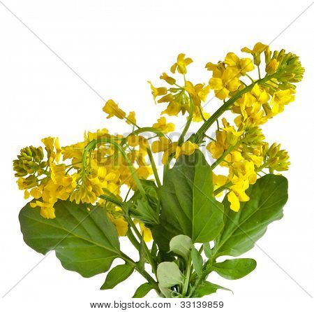 Flowering rapeseed plant ( Brassica napus , Yellow Rocket ) close up  isolated