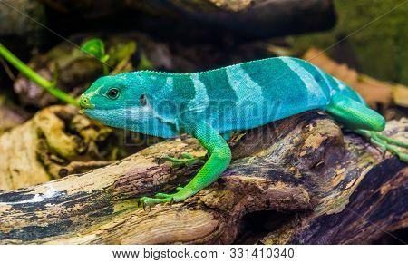Beautiful Portrait Of A Male Banded Fiji Iguana, Tropical Lizard From The Fijian Islands, Endangered