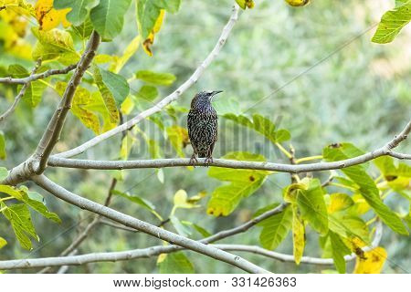 Common Starling Bird Sitting On A Tree Branch Rome Italy.