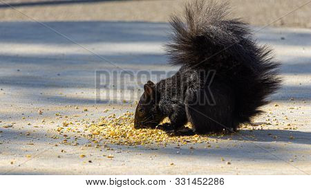 An Eastern Gray Squirrel, Colored Black Due To A Melanistic Genetic Variation, Eats Birdseed That Ha