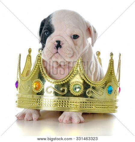 male English bulldog puppy sitting inside a king's crown isolated on white background