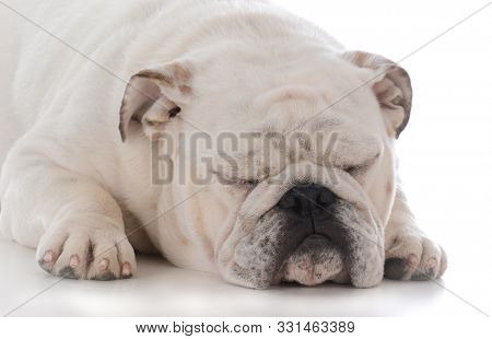 male english bulldog laying down sleeping on white background