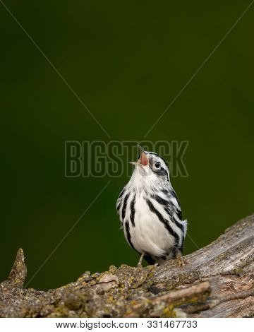 Black-and-white Warbler Singing Song While Perched On Tree.