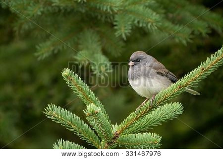Dark-eyed Junco Perched In Green Spruce Tree.