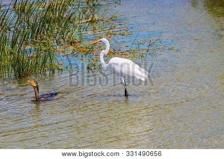 Swamp Birds In Florida Marsh Hunt For Food