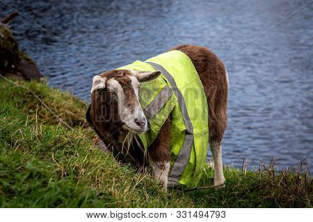Hilarious and funny goat wearing a work vest while eating grass. poster