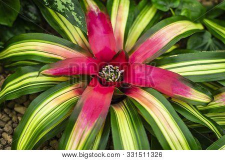 Big Flower, Close Up. Guzmania, Colorful Bromelia.