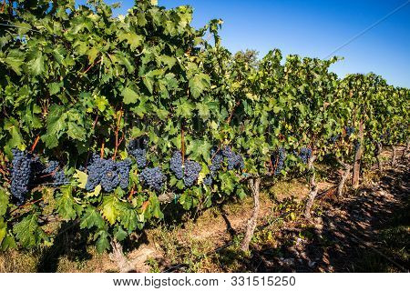 Grape Crops Dedicated To The Elaboration Of The Famous Rioja Wine, Casalarreina, Spain.