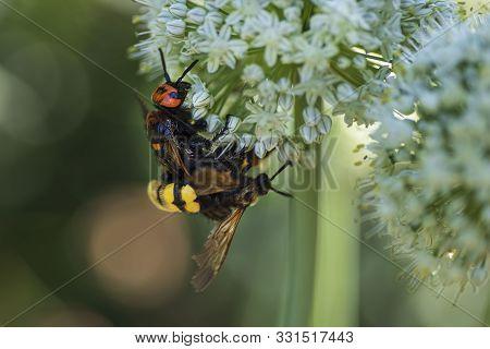 Megascolia Maculata. The Mammoth Wasp. Scola Giant Wasp On A Onion Flower. Scola Lat. Megascolia Mac