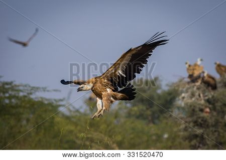griffon vulture or eurasian griffon or gyps fulvus in flight head on with full wingspan in a beautiful green background at jorbeer conservation reserve, bikaner, rajasthan, india poster