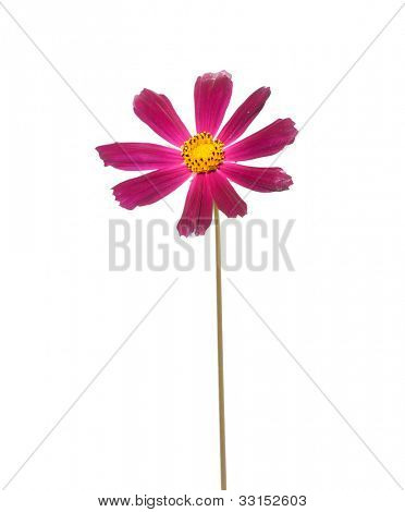 Cosmos, flower isolted on white