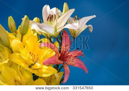 Close Up Of Lily Flowers On Blue Background.