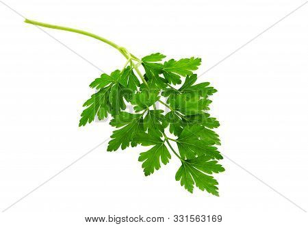 Parsley  Leaf Isolated On White  Background. Fresh Organic Parsley Herb Leaves.