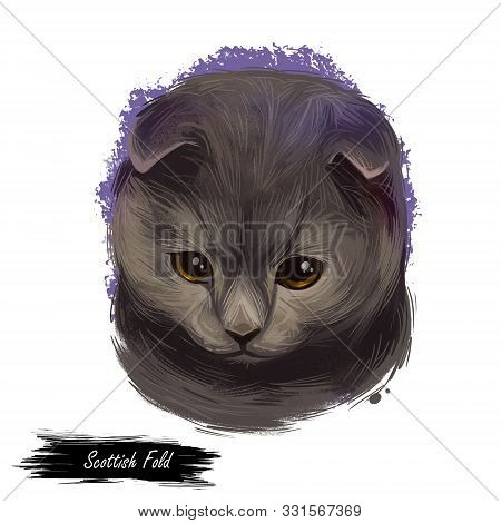Scottish Fold Breed Of Domestic Cat With Natural Dominant-gene Mutation. Lop-eared Or Lops, Longhair