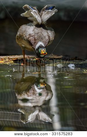 Male Mallard Or Dabbling Duck Standing On Shore With Reflection , Thailand
