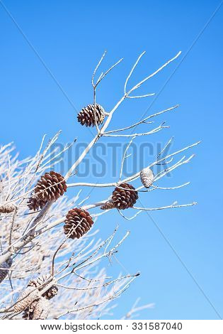 Abstract Closeup On Blue Backdrop With Pine Branches And Pine Cone. Christmas Decoration Background.