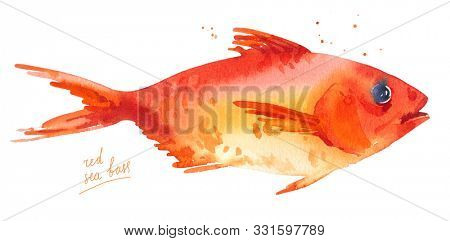 Red sea bass, sebastes, red perch fish, sea grouper. Watercolor illustration isolated on white background