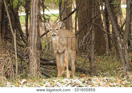 A White Deer (doe) Standing By The Edge Of A Grove Trees.