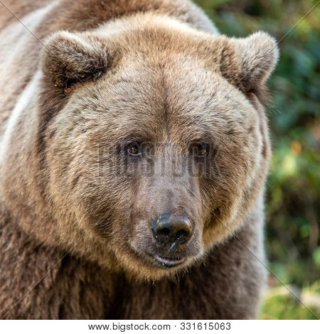 Beautiful Close Up Portrait Of The Brown Bear