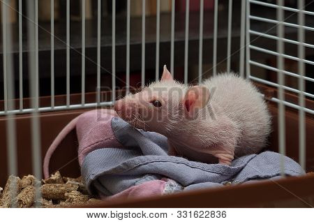A Small Decorative Rat Sits And Looks Out From An Iron Cage.
