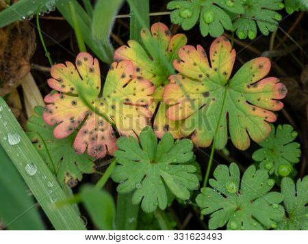 Dove's Foot Geranium Leaves In Winter With Damage ..