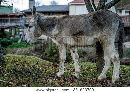 A Grey Donkey Grazing In The Countryside