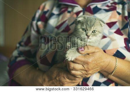 Cute Pet Portrait. Beautiful And Fluffy Grey Scottish Fold Cat. Woman Holds Baby Scottish Fold Gray