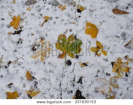 Yellow And Green Autumn Leaves Lie On The Ground Covered With First Snow In November, Bird Footprint