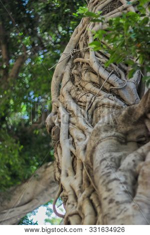 Twisted Branches Of A Ficus Tree. Ficus Microcarpa Is Tropical Tree With Smooth Light-gray Bark Leav