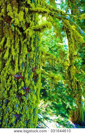 Moss Covered Bark On Pine Trees At An Alpine Forest Taken In Rural Northern California Where There\'