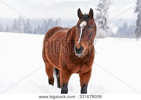 Brown Horse Standing On Snow Covered Field, View From Front, Blurred Trees In Background