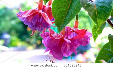 Springtime Garden With Large Hybrid Pink And Purple Fuchsia Flowers.