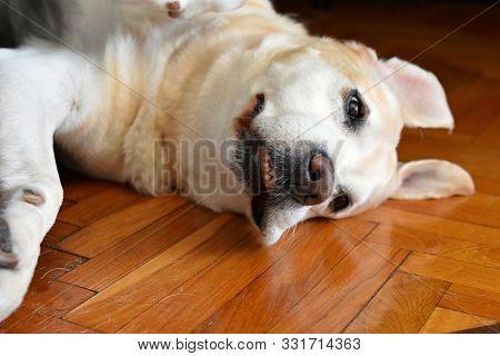Portrait Of Yellow Labrador Dog Laying, Resting And Posing For Photo Shoot On Wooden Floor Enjoys On