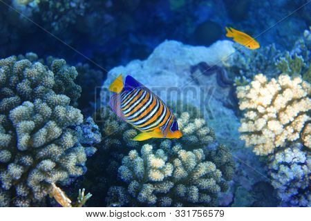 Tropical Fish In The Ocean. Royal Angelfish With Yellow Fins, Orange, White And Blue Stripes. Colorf