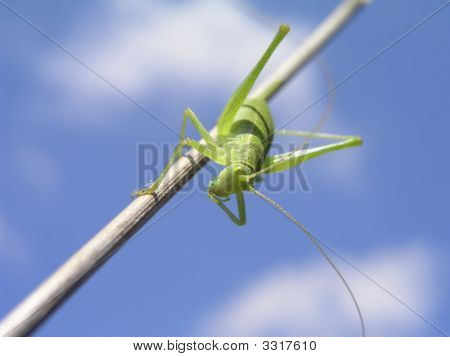 Grasshopper On The Straw Under The Blue Sky