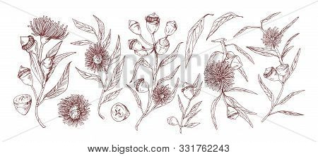 Blooming Eucalyptus Hand Drawn Vector Illustrations Set. Aromatic Australian Plant Twigs With Buds A